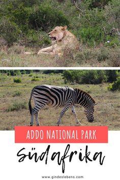 Addo Elephant Park Südafrika. Der Addo Nationalpark ist der größte Nationalpark im Ostkap und der drittgrößte Park Südafrikas. Unsere Big Five Safari im Addo Nationalpark. Auf eigene Faust durch den Addo Elephant National Park. Informationen, Highlights, Tipps und welche Tiere wir gesehen haben. Mehr zum Addo Nationalpark und zu Südafrika auf www.gindeslebens.com #Südafrika #Addo #AddoElephantPark #BigFive #Safari #SüdafrikaSafari Tromso, Addo National Park, National Parks, Elephant Park, Highlights, Gin, Animals, Tour Operator, Tanzania