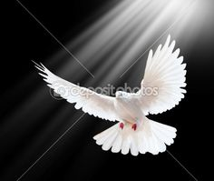 Find white dove flying stock images in HD and millions of other royalty-free stock photos, illustrations and vectors in the Shutterstock collection. Thousands of new, high-quality pictures added every day. Santas Tattoo, Dove Flying, White Pigeon, Peace Dove, White Doves, Bird Wallpaper, Holy Spirit, Oeuvre D'art, Black Backgrounds