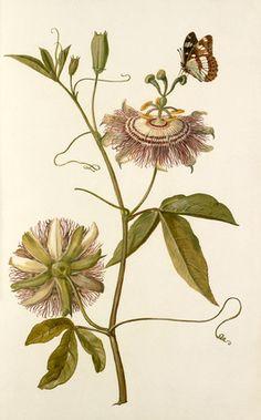 Passion flower. 4 0 c m Passion Flower Illustration