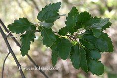 Oak (Valonia Oak) (Quercus aegilips) | Quercus ithaburensis, Quercus aegilops, Genesis 35:8