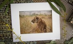 - Serenity - African Wildlife Prints by Bee-Elle. Delivery worldwide. #lion #africa #wildlife #africanwildlife #animals #africanwildlifephotography #wildlifephotography #gift #prints #art #nature #walldecor