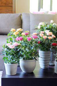 Le rosier miniature forme un petit arbuste en pot