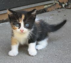 Calico Kitten - Always love a calico...