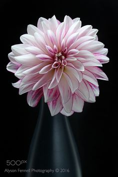 Pink and White Dahlia - Pink and White Dahlia Flower in black vase.