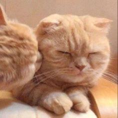 Wanna kiss🤣💕 Funny Cartoon Gifs, Funny Animal Memes, Cat Memes, Funny Cats, Cute Baby Cats, Cute Baby Animals, Kittens Cutest, Cats And Kittens, Cat Couple