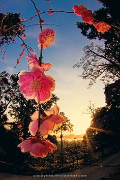 Japanese apricot in sunset