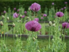 Papaver somniferum, Afghan poppies love the soil in our kitchen garden and arrive in hundreds and hundreds every summer. Photo: 2010-07-09