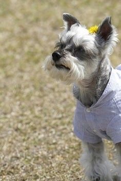 Why are Miniature Schnauzer Hypoallergenic? Click the picture to read