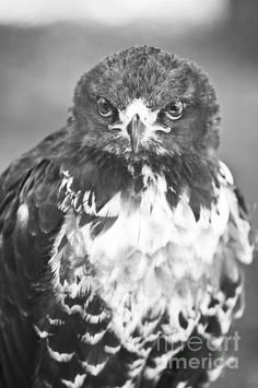 'Looking At You' by Paulo Perestrelo © 2012 - Fine Art & Wildlife Photography Eagle Artwork, Eagle Design, Wildlife Photography, Fine Art America, Wall Art, Artist, Wall Decor, Artists