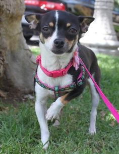 Pia is an adoptable Rat Terrier searching for a forever family near Los Angeles, CA. Use Petfinder to find adoptable pets in your area. Rat Terrier Mix, Rat Terriers, Chihuahua Mix, Pet Life, Find Pets, Animal Shelter, Small Dogs, Pet Adoption, Cute Dogs