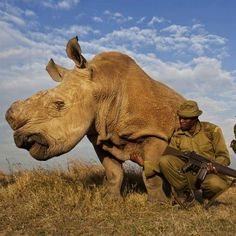 An extremely rare white rhino, of which there are only seven left in the entire world, in the Kenyan Ol Pejeta reservation, roams about the plains flanked by armed bodyguards.