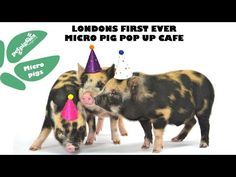 Micro Pig Cafe Makes Visitors Squeal With Delight | Petpiggies