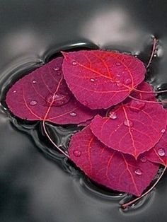 in Water The beauty of leaves.I love autumn colors. MoreThe beauty of leaves.I love autumn colors. Jolie Photo, Autumn Leaves, Red Leaves, Beautiful World, Simply Beautiful, Beautiful Images, Color Splash, Red Colour, Black Splash