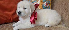 English cream golden retriever, white golden retriever puppy, merry Christmas