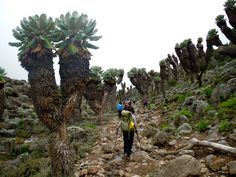 Picture above is Machame route Moorland, at Shira Camp Travel tips helps tourists find cheap destinations and quality travel services and great customer care. Budget travel adventures include Machame route Kilimanjaro climb and Tanzania safaris, nature trekking http://www.kilimanjaroclimbsummiting.com