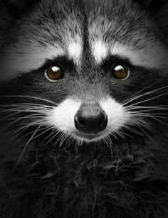 Stunning photo of a bandit!