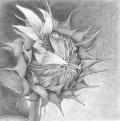 The birth of a sunflower drawing by nives palmić Pencil Drawings Of Flowers, Pencil Drawing Tutorials, Drawing Flowers, Sunflower Drawing, Sunflower Art, Paintings Famous, Floral Drawing, Plant Drawing, Paper Drawing