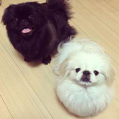 Fu Dog, Dog Cat, Tiny Monkey, Buddhist Teachings, Pekingese Dogs, Chinese Mythology, Japanese Chin, Dog Breeds, Cute Animals