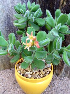 """COTYLEDON TOMENTOSA.""""BEARS PAW""""in flower."""