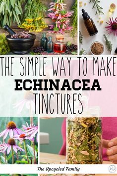 Echinacea tinctures are such an easy tincture to benefit from. How to make echinacea tincture right in your kitchen from those garden fresh flowers (or even dried herbs). An easy DIY Echinacea tincture recipe to boost your immune system. #echinaceatincture #recipe #howtomake #uses #benefits #DIY #immunesystem #naturalremedies #simple Herbal Remedies, Home Remedies, Natural Remedies, Health Remedies, Natural Treatments, Healing Herbs, Medicinal Herbs, Herbal Plants, Kefir