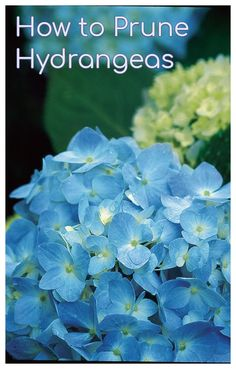 hydrangea garden care Learn when and how to prune your hydrangea plants for best bloom results. These popular summer flowers will look fantastic with a little pruning! When To Prune Hydrangeas, Pruning Hydrangeas, Hydrangea Landscaping, Hydrangea Bush, Hydrangea Care, Planting Flowers, Hydrangea Plant, Hydrangea Varieties, Bush Garden