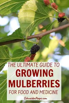 The mulberry tree is a fast growing fruit tree that also provides food for your family and animals. Learn how to grow mulberries and use mulberry tree leaves, bark, and berries for food, fodder, and medicine. Fast Growing Fruit Trees, Growing Tree, Organic Gardening, Gardening Tips, Vegetable Gardening, Fruit Garden, Herbs Garden, Mulberry Leaf, Backyard Trees
