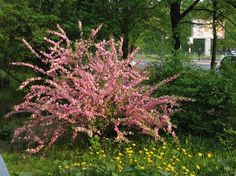 Migdałek trójklapowy (Prunus triloba) stanowisko słoneczne