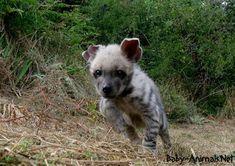 Baby hyena images   #babyhyena  #cutehyena    #littlehyena   #sweethyena    #funnyhyena   #hyena    #hyenagallery  #babyanimals   #cuteanimals  #littleanimals