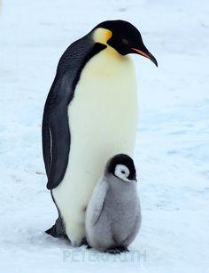 Emperor penguin | 564754-Emperor-Penguin-and-Chick_view