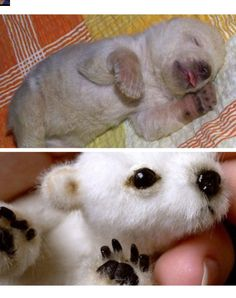 I always see people pinning the Baby Polar bear on the bottom and I just want to point out that its not real. Compare to the real  baby polar bear on the top.