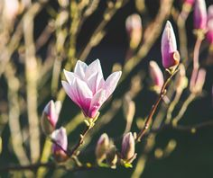 blossoming of magnolia flowers in spring time Magnolia Trees, Magnolia Flower, Free Photos, Free Images, Avas Flowers, Pink Plant, Photo Stock Images, Order Flowers Online, Same Day Flower Delivery