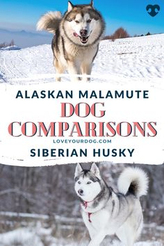 Comparing the Alaskan malamute vs. the Siberian husky when considering your next puppy? The Alaskan Malamute requires a bit more grooming compared to the Husky, but the Husky is cheaper to buy. Get more facts about these two breeds here! Malamute Dog, Alaskan Malamute, Dog Comparison, Dog Breeds, Husky, Facts, Puppies, Dogs, Animals