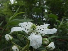 白い花 夏 イシカリキイチゴ