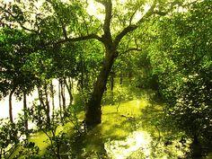 Sundarbans, Bangladeş... #bangladesh#UNESCO#worldheritage#Dünyamirasılistesi#tarih##görülmesigerekenyerler#history#Türkiye#Turkey#heritagelist#gezi#millipark#ulusalpark#nationalparks#travel