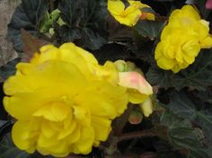 Begonias - Begonia Flowers for Containers and the Garden