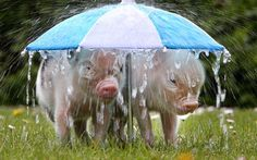 Park Pictures, Funny Animal Pictures, Rare Animals, Funny Animals, Adorable Animals, Baby Piglets, Miniature Pigs, Small Pigs, Rain