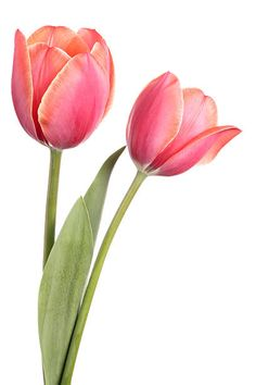Two flowers isolated on a white background Tulips. Two flowers isolated on a white background Tulips stock photo<br> Tulips. Two flowers isolated on a white background Pink Tulips, Tulips Flowers, Beautiful Flowers, Flowers Garden, Yellow Roses, Pink Roses, Rare Flowers, Exotic Flowers, Purple Flowers