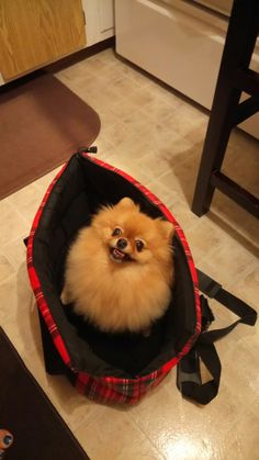 Maya the Pomeranian in her purse.... she loves being in there.