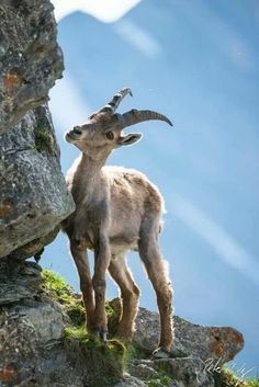 Beautiful Alpine Ibex ~