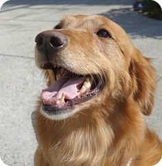 Los Angeles, CA - Golden Retriever. Meet Adora, a dog for adoption. http://www.adoptapet.com/pet/12237219-los-angeles-california-golden-retriever