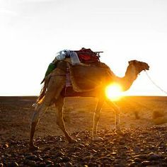Sahara+Desert+Animals+and+Plants | ... nomad berber with his dromedary in the sahara desert morocco
