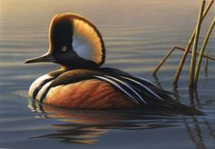 The Prettiest duck : Virginia Duck Hunting Duck Hunting, Colorful Birds, Nature Animals, Stamp Collecting, Love Birds, Bird Feathers, Pet Birds, Virginia, Pretty