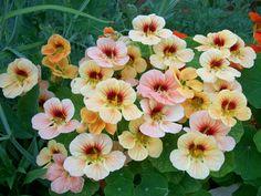 Nasturtium, mixed Nasturtium seed pack from Walgreen's