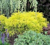 golden mop cypress/dwarf SHRUB | Ask A Question » View / Upload Pictures »