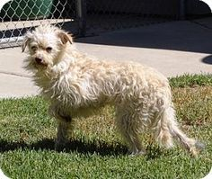 Lathrop, CA - Poodle (Miniature)/Terrier (Unknown Type, Small) Mix. Meet Sage, a dog for adoption. http://www.adoptapet.com/pet/13471440-lathrop-california-poodle-miniature-mix