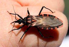 Figyelmeztetés! Rendkívül veszélyes rovar jelent meg hazánkban! Ha meglátja azonnal hagyja el a helyet! Így néz ki: - FM3 Café  - Articsókát kell enni!