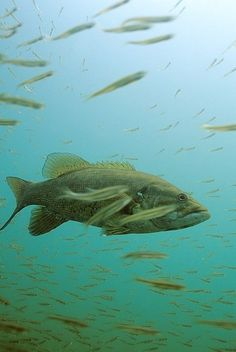 Bass Facts and Myths: 19 Things You Didn't Know About Bass | Outdoor Life