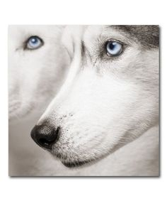 Blue-eyed Siberian Husky #siberianhusky