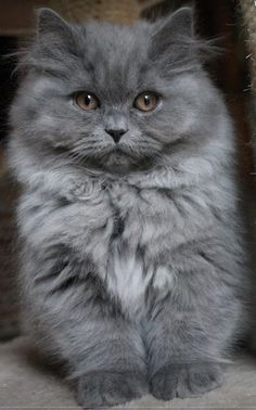 Most Popular Long Haired Cat Breeds - Samoreals Fluffy Kittens, Kittens And Puppies, Cute Cats And Kittens, Cool Cats, Kittens Cutest, Funny Puppies, Puppies Puppies, Small Puppies, Grey Kitten