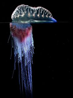 Portuguese Man o' War jellyfish. I've personally been stung by one of these bad boys. With that & natural child birth, I can tolerate any pain imaginable.